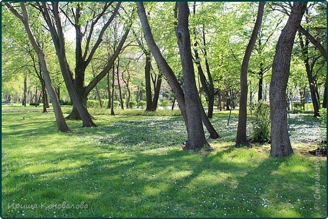 Добрый вечер, предлагаю для просмотра еще фотографии цветущего парка, Прогулка состоялась где-то 15 апреля. Весь парк в цветущих розовых и желтых деревьях. Розовый это индийский люляк. Болгары называют его иудой. А желтая и белая - глицинии (если не ошибаюсь). Еще не отцвели тюльпаны. фото 5
