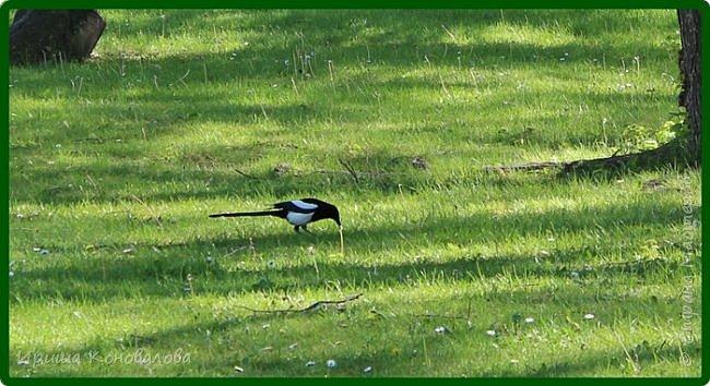 Добрый вечер, предлагаю для просмотра еще фотографии цветущего парка, Прогулка состоялась где-то 15 апреля. Весь парк в цветущих розовых и желтых деревьях. Розовый это индийский люляк. Болгары называют его иудой. А желтая и белая - глицинии (если не ошибаюсь). Еще не отцвели тюльпаны. фото 35