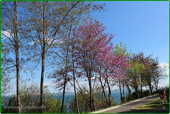 Добрый вечер, предлагаю для просмотра еще фотографии цветущего парка, Прогулка состоялась где-то 15 апреля. Весь парк в цветущих розовых и желтых деревьях. Розовый это индийский люляк. Болгары называют его иудой. А желтая и белая - глицинии (если не ошибаюсь). Еще не отцвели тюльпаны. фото 4