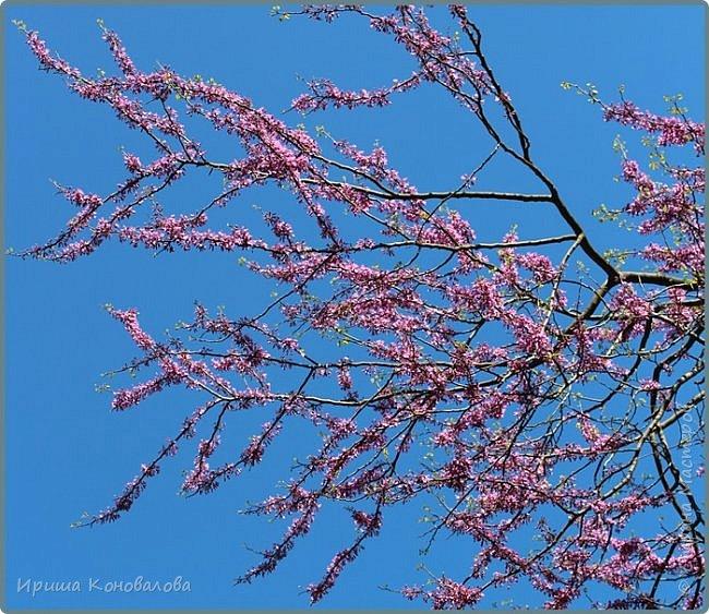 Добрый вечер, предлагаю для просмотра еще фотографии цветущего парка, Прогулка состоялась где-то 15 апреля. Весь парк в цветущих розовых и желтых деревьях. Розовый это индийский люляк. Болгары называют его иудой. А желтая и белая - глицинии (если не ошибаюсь). Еще не отцвели тюльпаны. фото 13