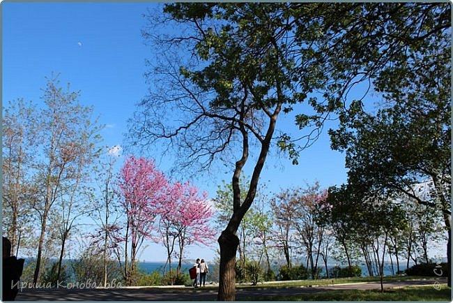 Добрый вечер, предлагаю для просмотра еще фотографии цветущего парка, Прогулка состоялась где-то 15 апреля. Весь парк в цветущих розовых и желтых деревьях. Розовый это индийский люляк. Болгары называют его иудой. А желтая и белая - глицинии (если не ошибаюсь). Еще не отцвели тюльпаны. фото 16