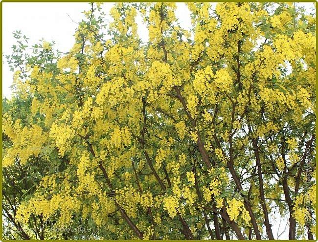 Добрый вечер, предлагаю для просмотра еще фотографии цветущего парка, Прогулка состоялась где-то 15 апреля. Весь парк в цветущих розовых и желтых деревьях. Розовый это индийский люляк. Болгары называют его иудой. А желтая и белая - глицинии (если не ошибаюсь). Еще не отцвели тюльпаны. фото 10