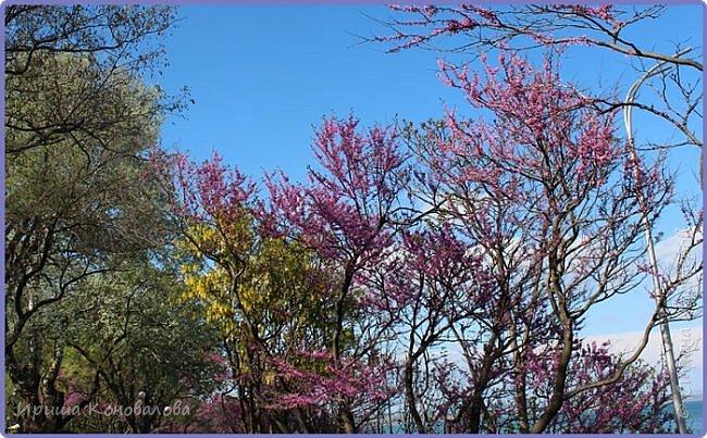 Добрый вечер, предлагаю для просмотра еще фотографии цветущего парка, Прогулка состоялась где-то 15 апреля. Весь парк в цветущих розовых и желтых деревьях. Розовый это индийский люляк. Болгары называют его иудой. А желтая и белая - глицинии (если не ошибаюсь). Еще не отцвели тюльпаны. фото 14