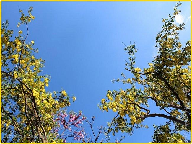 Добрый вечер, предлагаю для просмотра еще фотографии цветущего парка, Прогулка состоялась где-то 15 апреля. Весь парк в цветущих розовых и желтых деревьях. Розовый это индийский люляк. Болгары называют его иудой. А желтая и белая - глицинии (если не ошибаюсь). Еще не отцвели тюльпаны. фото 11