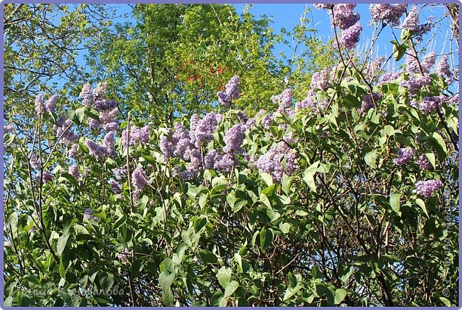 Добрый вечер, предлагаю для просмотра еще фотографии цветущего парка, Прогулка состоялась где-то 15 апреля. Весь парк в цветущих розовых и желтых деревьях. Розовый это индийский люляк. Болгары называют его иудой. А желтая и белая - глицинии (если не ошибаюсь). Еще не отцвели тюльпаны. фото 8