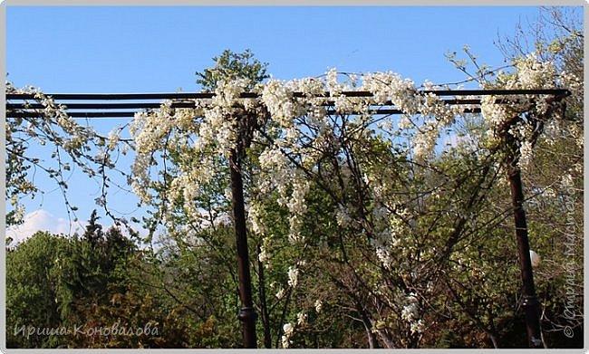 Добрый вечер, предлагаю для просмотра еще фотографии цветущего парка, Прогулка состоялась где-то 15 апреля. Весь парк в цветущих розовых и желтых деревьях. Розовый это индийский люляк. Болгары называют его иудой. А желтая и белая - глицинии (если не ошибаюсь). Еще не отцвели тюльпаны. фото 7