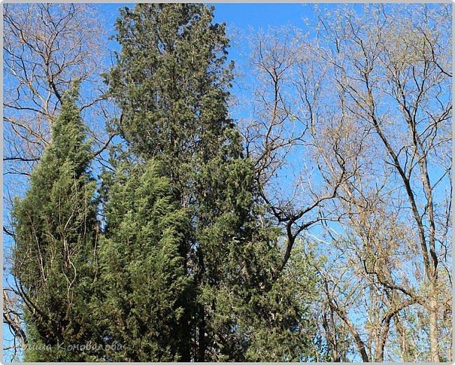 Добрый вечер, предлагаю для просмотра еще фотографии цветущего парка, Прогулка состоялась где-то 15 апреля. Весь парк в цветущих розовых и желтых деревьях. Розовый это индийский люляк. Болгары называют его иудой. А желтая и белая - глицинии (если не ошибаюсь). Еще не отцвели тюльпаны. фото 12