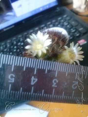Ещё раз привет Стране! Продолжаю свои прямые репортажи с места событий.  Фотографии за 20-е и 21-е апреля. Сначала фото от 20-го апреля. Кактус Mammillaria microhelia, очередные цветочки. Линейка даёт представление о размерах цветков.. фото 1