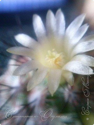 Ещё раз привет Стране! Продолжаю свои прямые репортажи с места событий.  Фотографии за 20-е и 21-е апреля. Сначала фото от 20-го апреля. Кактус Mammillaria microhelia, очередные цветочки. Линейка даёт представление о размерах цветков.. фото 2