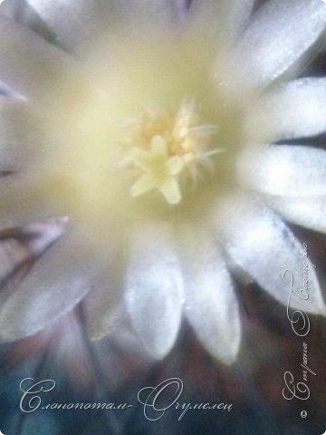 Ещё раз привет Стране! Продолжаю свои прямые репортажи с места событий.  Фотографии за 20-е и 21-е апреля. Сначала фото от 20-го апреля. Кактус Mammillaria microhelia, очередные цветочки. Линейка даёт представление о размерах цветков.. фото 3