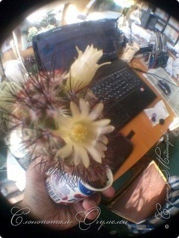 Ещё раз привет Стране! Продолжаю свои прямые репортажи с места событий.  Фотографии за 20-е и 21-е апреля. Сначала фото от 20-го апреля. Кактус Mammillaria microhelia, очередные цветочки. Линейка даёт представление о размерах цветков.. фото 9