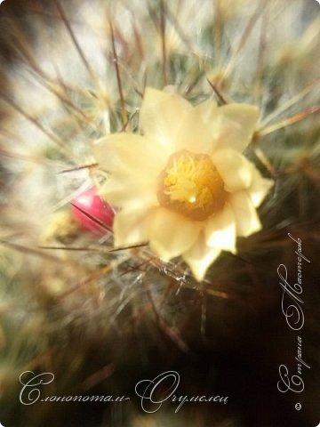 Ещё раз привет Стране! Продолжаю свои прямые репортажи с места событий.  Фотографии за 20-е и 21-е апреля. Сначала фото от 20-го апреля. Кактус Mammillaria microhelia, очередные цветочки. Линейка даёт представление о размерах цветков.. фото 10