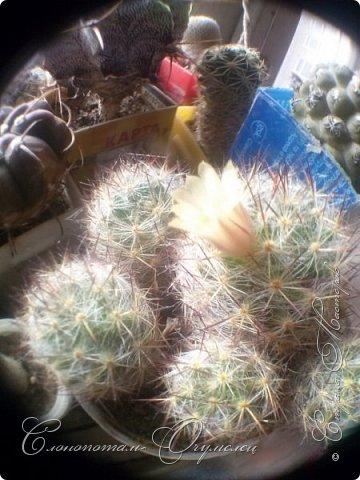 Ещё раз привет Стране! Продолжаю свои прямые репортажи с места событий.  Фотографии за 20-е и 21-е апреля. Сначала фото от 20-го апреля. Кактус Mammillaria microhelia, очередные цветочки. Линейка даёт представление о размерах цветков.. фото 11