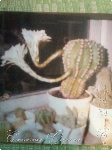 Ещё раз привет Стране! Продолжаю свои прямые репортажи с места событий.  Фотографии за 20-е и 21-е апреля. Сначала фото от 20-го апреля. Кактус Mammillaria microhelia, очередные цветочки. Линейка даёт представление о размерах цветков.. фото 12