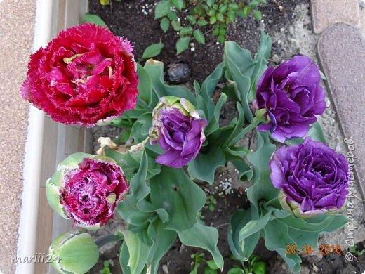Глициния цветет и благоухает - аромат во дворе дурманящий. фото 10