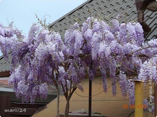 Глициния цветет и благоухает - аромат во дворе дурманящий. фото 6