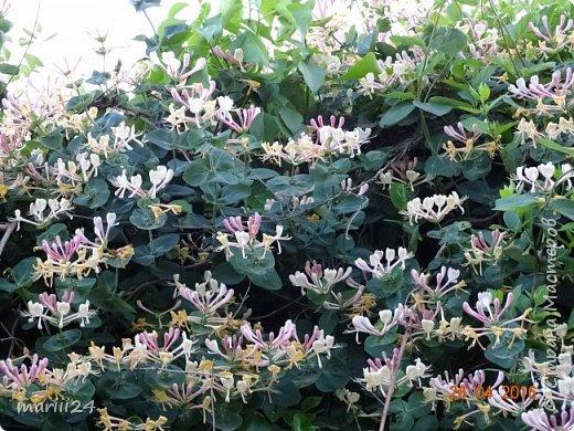 Глициния цветет и благоухает - аромат во дворе дурманящий. фото 7