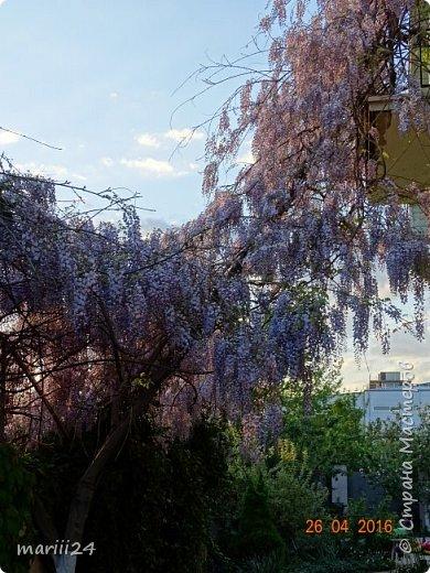 Глициния цветет и благоухает - аромат во дворе дурманящий. фото 2
