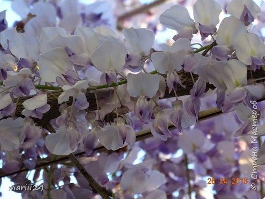 Глициния цветет и благоухает - аромат во дворе дурманящий. фото 8
