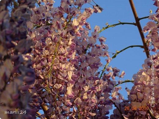 Глициния цветет и благоухает - аромат во дворе дурманящий. фото 1