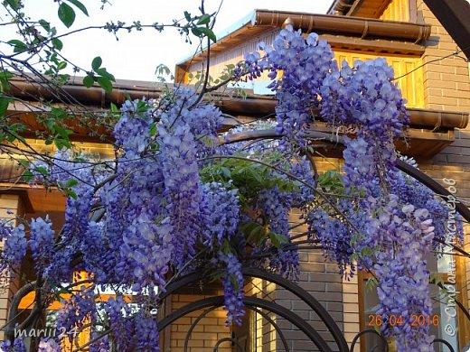 Глициния цветет и благоухает - аромат во дворе дурманящий. фото 5