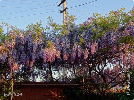 Глициния цветет и благоухает - аромат во дворе дурманящий. фото 3