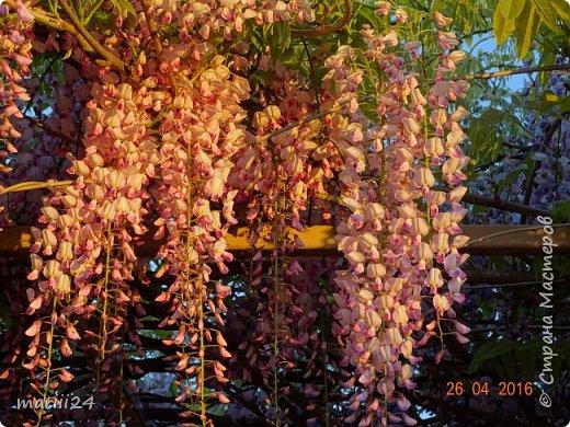 Глициния цветет и благоухает - аромат во дворе дурманящий. фото 4