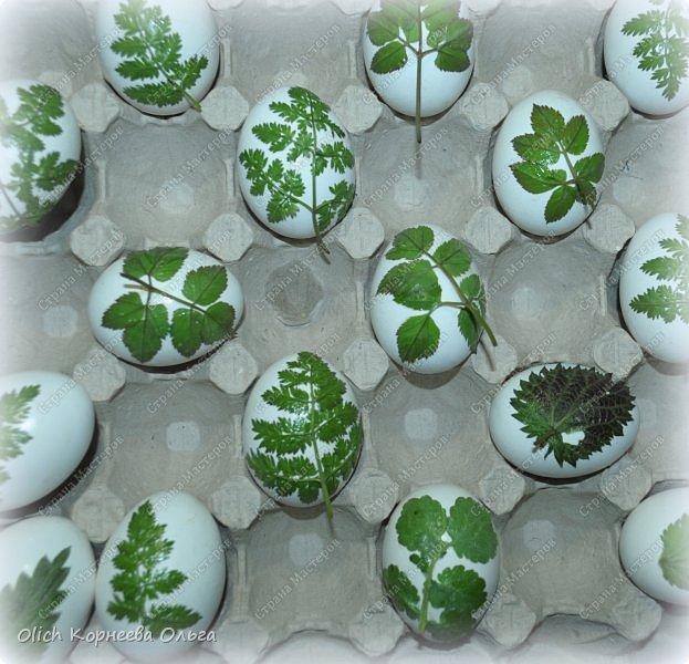 Здравствуйте. Пасха уже близко! Каждый год на Пасху я крашу яйца одинаково в луковом отваре. А для красоты добавляю рисунки натуральных листиков. Многие знают про этот способ окраски, но не всегда аккуратно получается расправить листик на яичке и получить в итоге четкий рисунок.  Я расскажу о некоторых простых хитростях, которые помогут добиться четкого очертания даже при использовании совсем молоденьких и мягких листочков, которые от одного прикосновения рвутся. фото 13