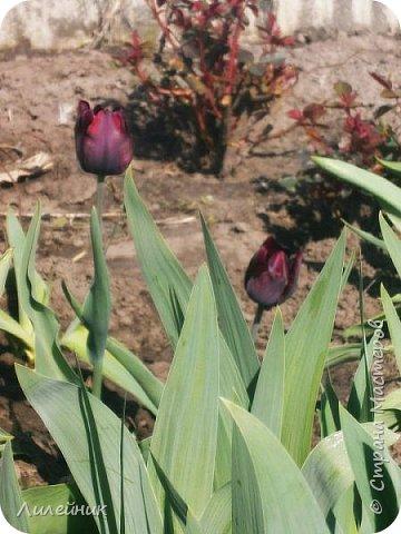 За окном весна.Что может быть прекрасней цветения тюльпанов. фото 11