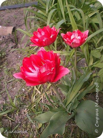 За окном весна.Что может быть прекрасней цветения тюльпанов. фото 7