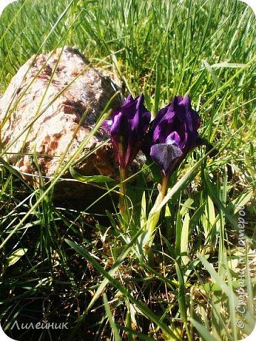 За окном весна.Что может быть прекрасней цветения тюльпанов. фото 29