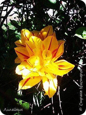 За окном весна.Что может быть прекрасней цветения тюльпанов. фото 13