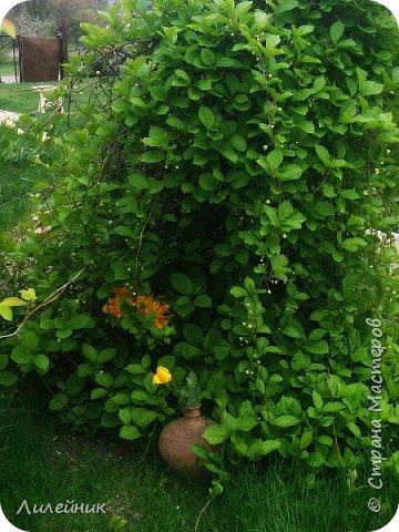 За окном весна.Что может быть прекрасней цветения тюльпанов. фото 12