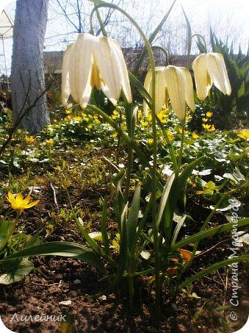 За окном весна.Что может быть прекрасней цветения тюльпанов. фото 28