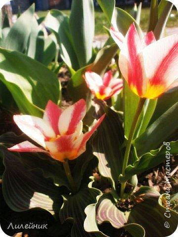 За окном весна.Что может быть прекрасней цветения тюльпанов. фото 14