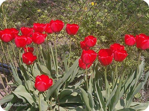 За окном весна.Что может быть прекрасней цветения тюльпанов. фото 2
