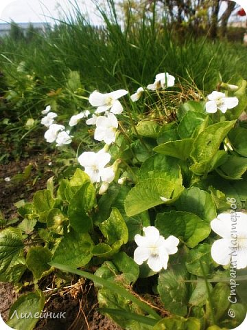 За окном весна.Что может быть прекрасней цветения тюльпанов. фото 30