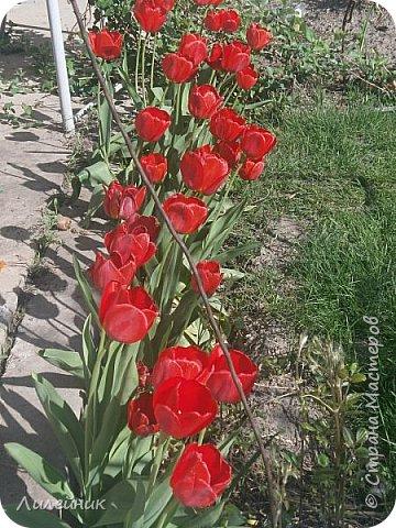 За окном весна.Что может быть прекрасней цветения тюльпанов. фото 3