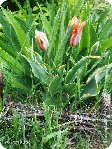 За окном весна.Что может быть прекрасней цветения тюльпанов. фото 10