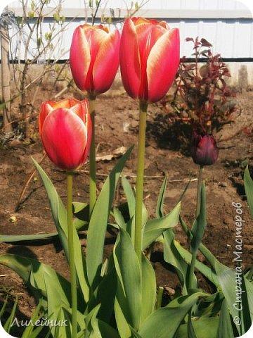 За окном весна.Что может быть прекрасней цветения тюльпанов. фото 8