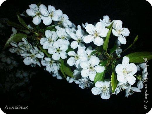 За окном весна.Что может быть прекрасней цветения тюльпанов. фото 32