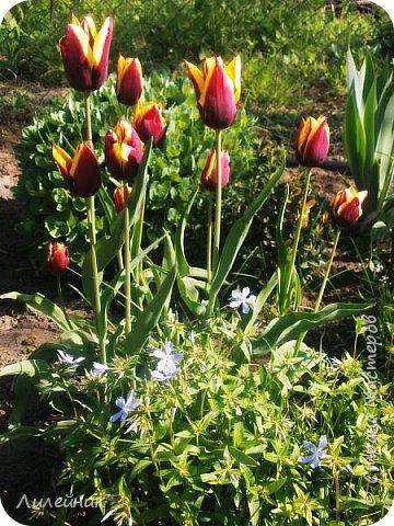 За окном весна.Что может быть прекрасней цветения тюльпанов. фото 16
