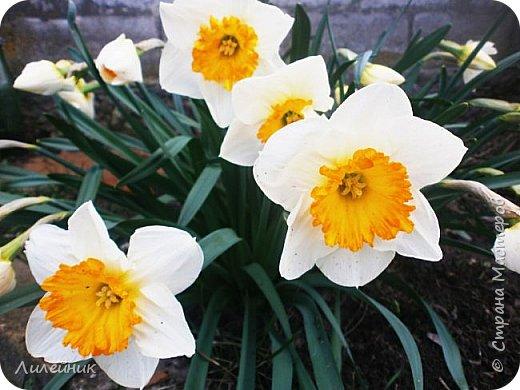 За окном весна.Что может быть прекрасней цветения тюльпанов. фото 26