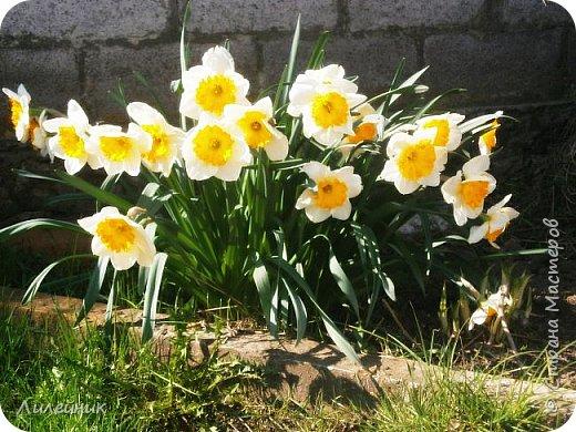 За окном весна.Что может быть прекрасней цветения тюльпанов. фото 25