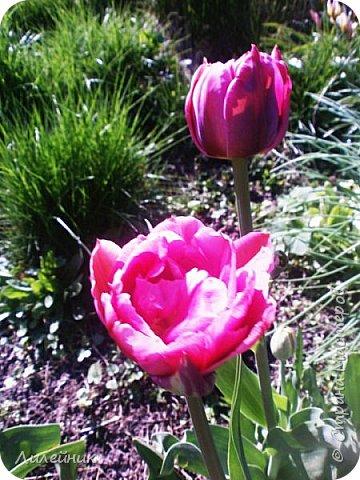 За окном весна.Что может быть прекрасней цветения тюльпанов. фото 27