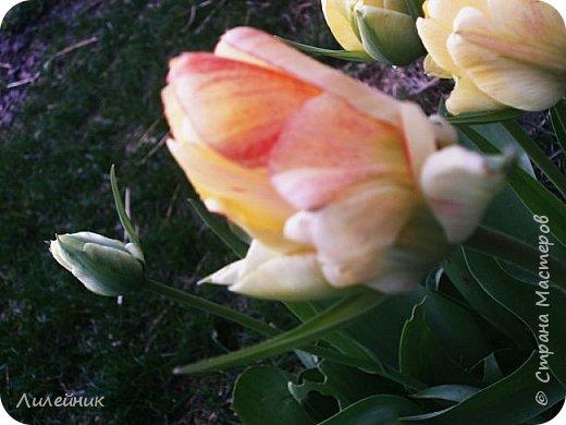 За окном весна.Что может быть прекрасней цветения тюльпанов. фото 36