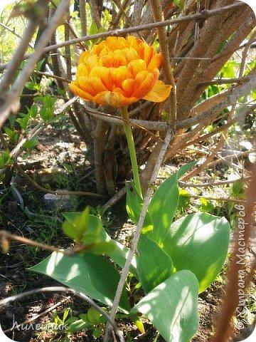 За окном весна.Что может быть прекрасней цветения тюльпанов. фото 22