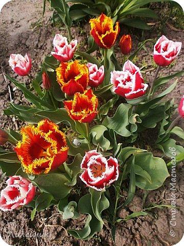 За окном весна.Что может быть прекрасней цветения тюльпанов. фото 15