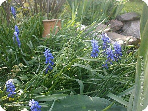 За окном весна.Что может быть прекрасней цветения тюльпанов. фото 35