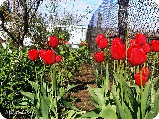 За окном весна.Что может быть прекрасней цветения тюльпанов. фото 1